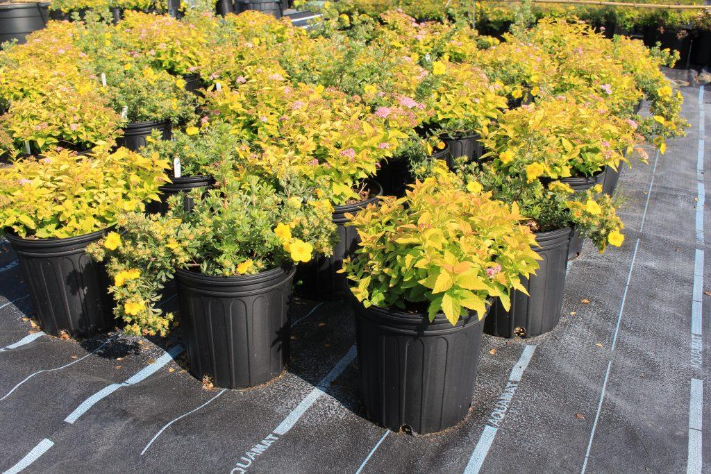 shrubs growing in pots in an nursery