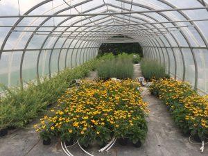 irrigated plants inside a hoophouse